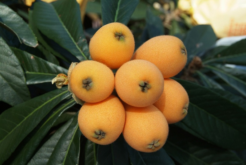 The loquat has a high sugar, acid and pectin content and it great for making jams and jellies.  The fruits are the sweetest when soft and orange. The flavour is a mixture of peach, citrus and mild mango.   The fruit begins to ripen during Spring to Summer depending on the temperature in the area.
