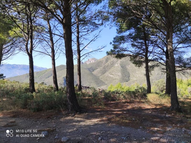 Itrabo pine trees -Rachel Adams photo. Read more on Almunecarinfo.com
