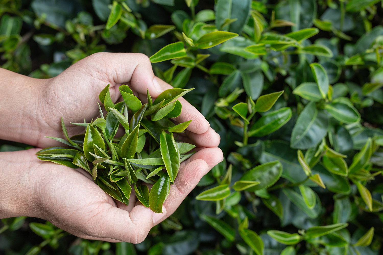 soins thé vert