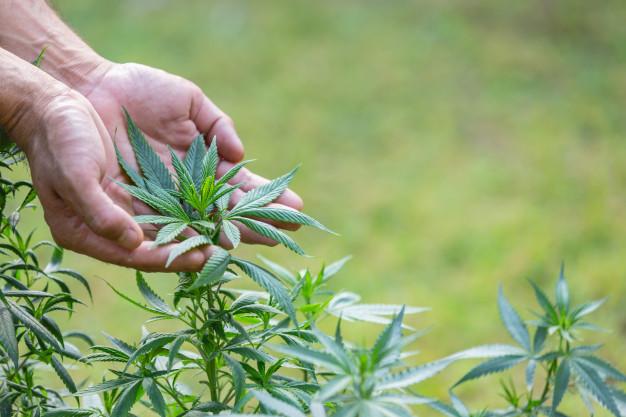 chanvre plante médicinale