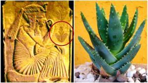 Aloe vera den hellige plante