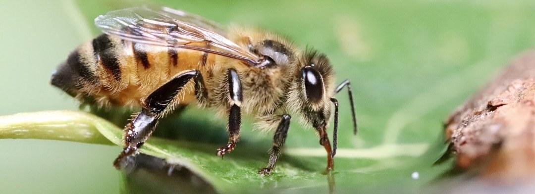 pčela na listu