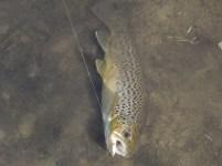lamprey rainbow, 2013 005