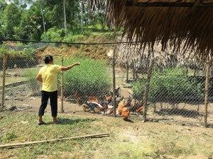 鶏の栽培も安定して来たそうです。