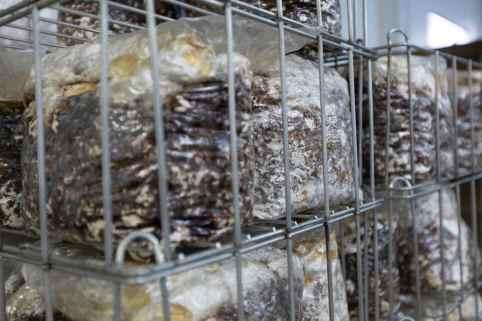 medicinal mushroom supplier, bulk mushrooms