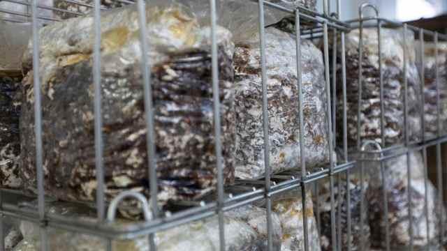 medicinal mushroom supplier