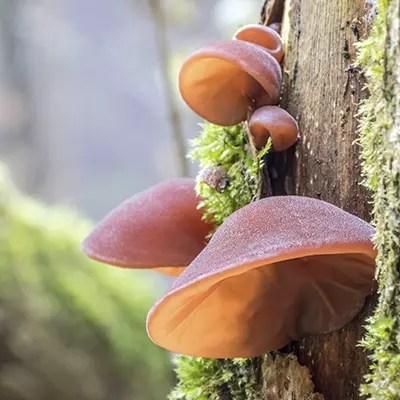 Auricularia Auricula