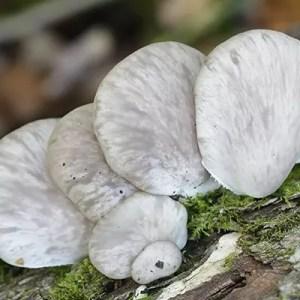Pleurotus Pulmonarius