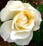 Toledo: Rose garden on a rainy day