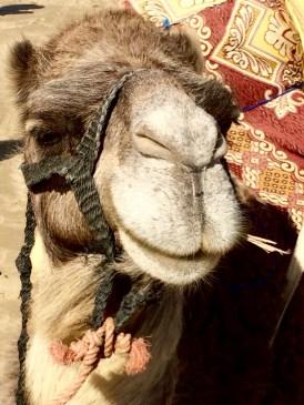 Marruecos: My new friend camel