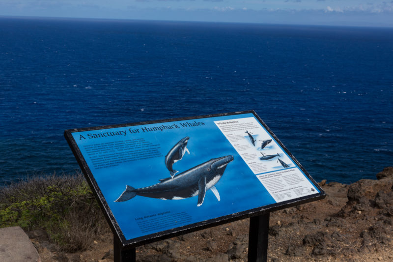 Whales can often be seen from the Makapuu lighthouse trail.