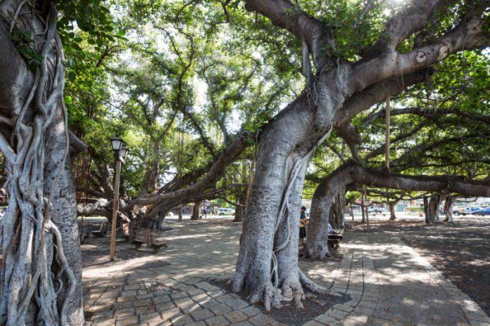 Huge banyan tree of Maui.