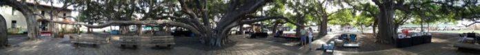 Maui's famous banyan tree.