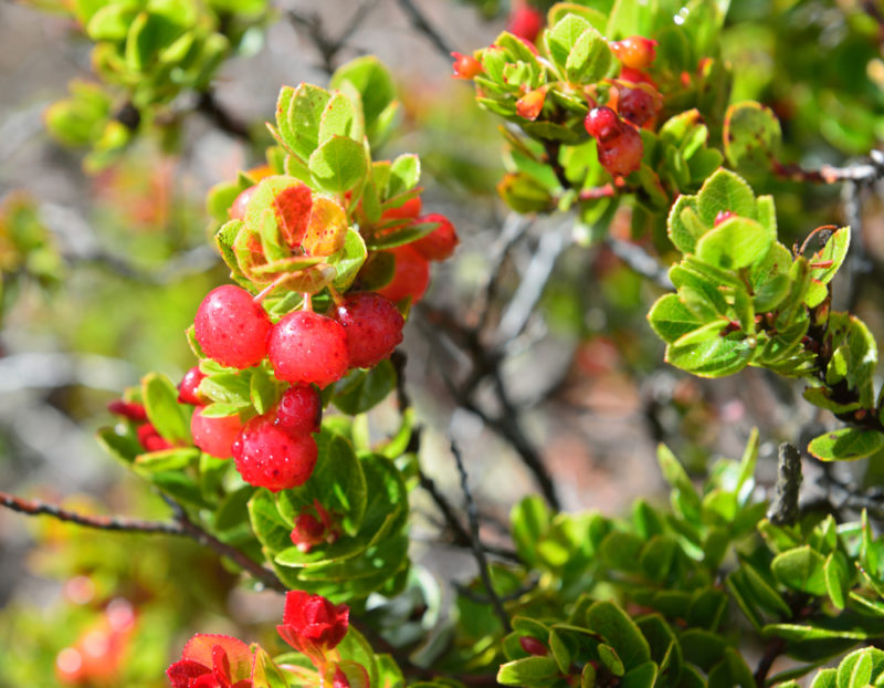 Nene geese love ohelo berries.