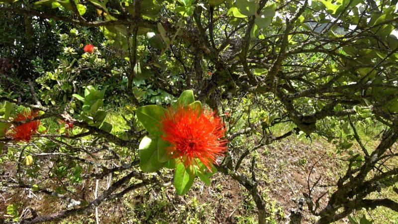 Lehua blossom at Hoomaluhia Garden
