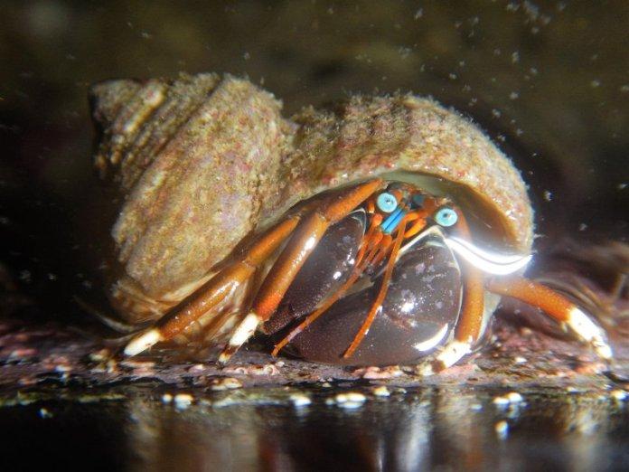 Hermit crab up close.
