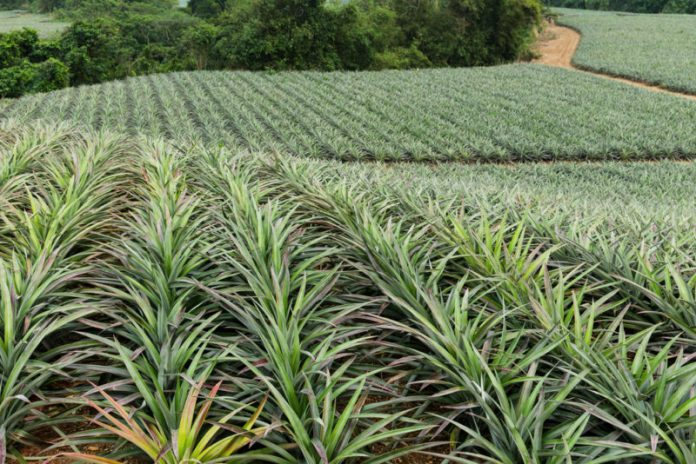 Dole Plantation pineapple plants as far as the eye can see.