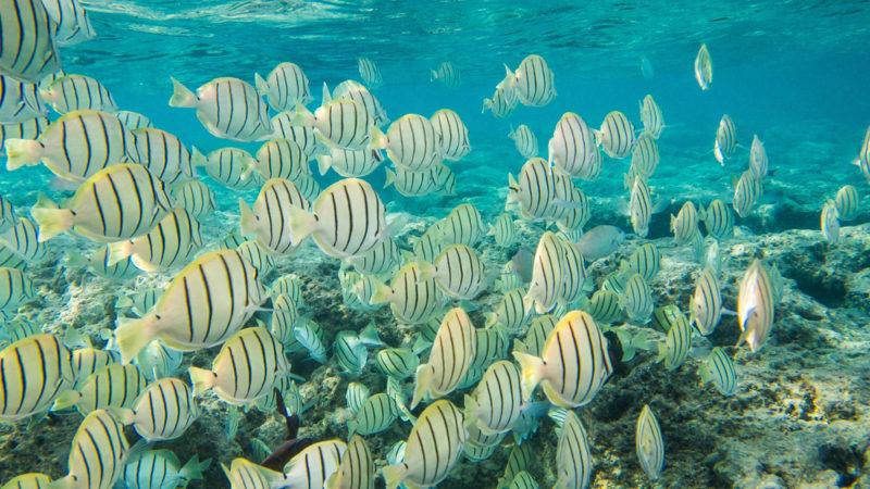 150 Things To Do On Oahu - Snorkel with manini at Hanauma Bay.