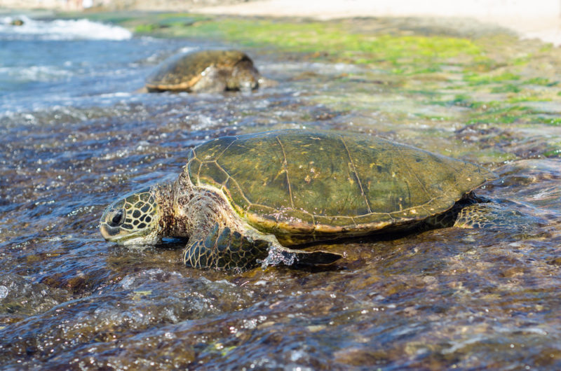 Laniakea turtles out on the rocks. The Best Beaches In Oahu's North Shore For Families.