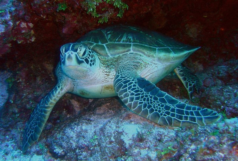 Where to find turtles in Oahu