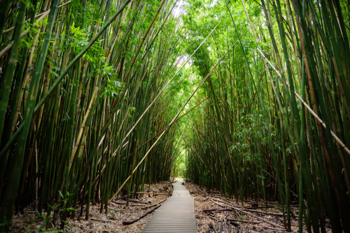 Pipiwai Trail's bamboo forest.