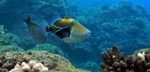 Hawaii's state fish, the humuhumunukunukuapuaa at Kaanapali, Black Rock Beach in Maui.