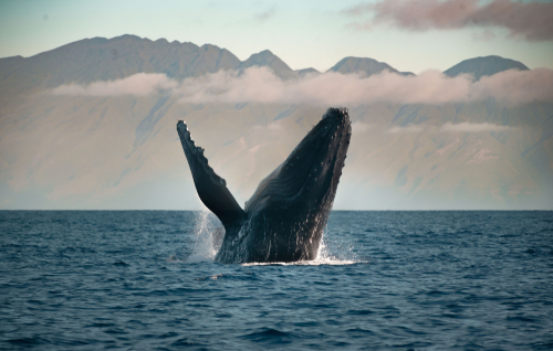 A breaching humpback whale with Molokai in the background.