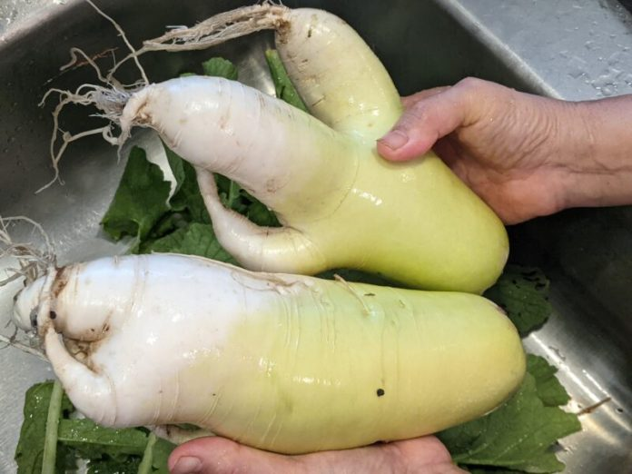 Put the daikon too close and they'll start to grow in weird shapes.