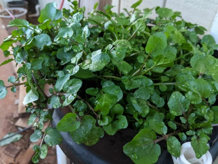 A closeup of my watercress right before I harvested the top half.