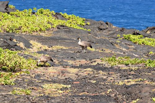 Hawaiian nene geese along the Chain of Craters Road in Hawaii Volcanoes National Park.