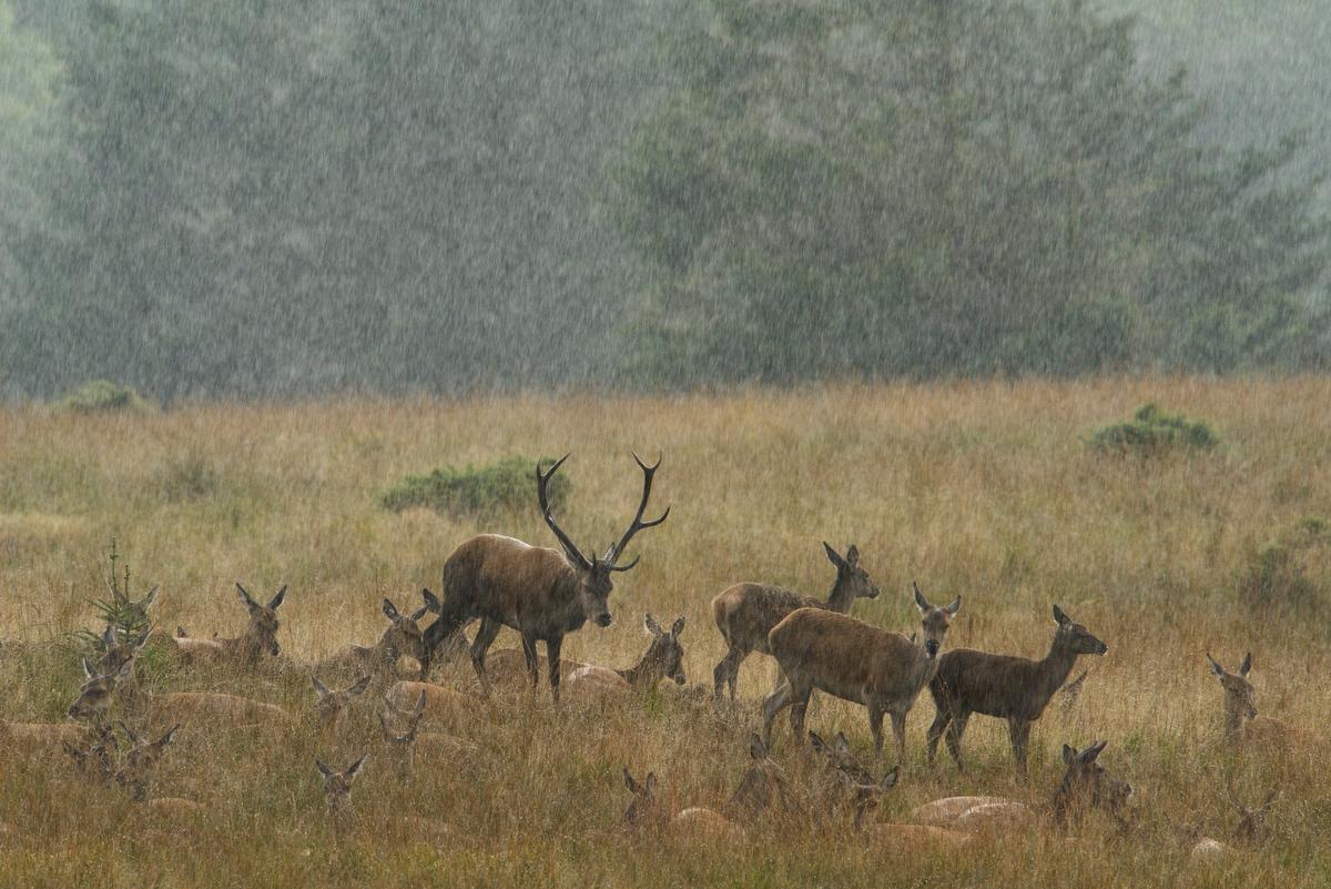 kronhjort i kraftig regn