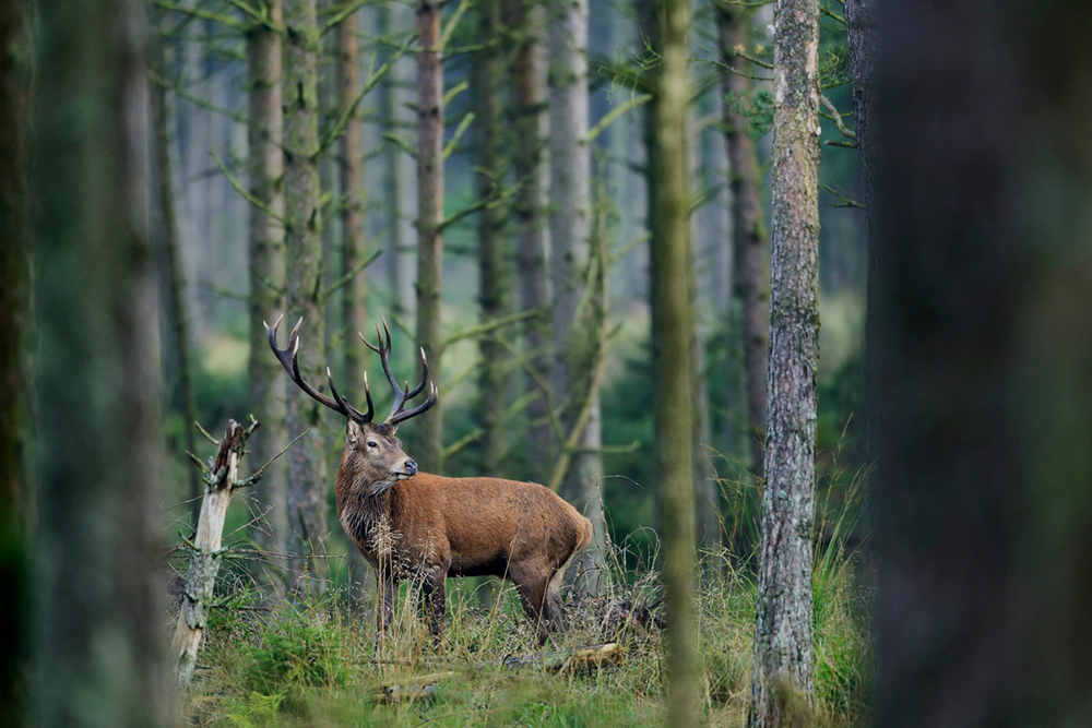 krondyr i tæt skov