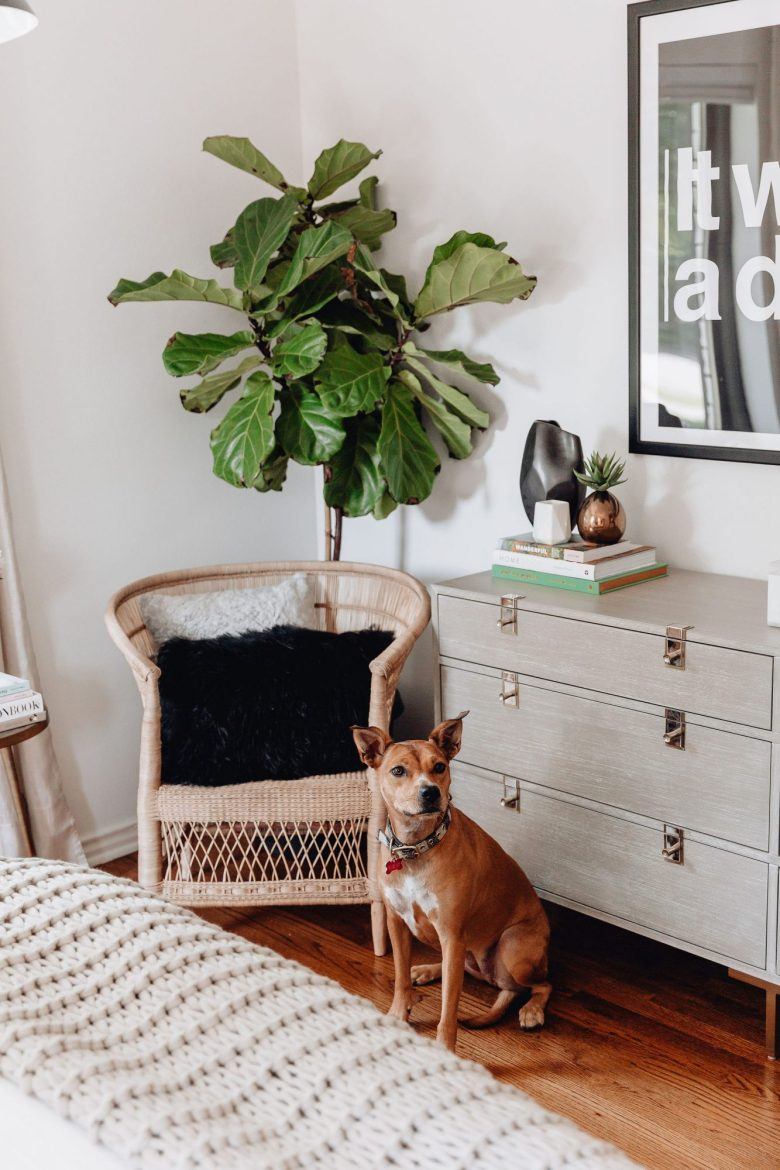 Fiddle Leaf Fig, Fiddle Leaf, Guest Bedroom, Bedroom Decor, CB2 chair, CB2 rattan chair, black faux fur pillow, rescue dog, grey dresser, Anthropologie dresser, Biggie print