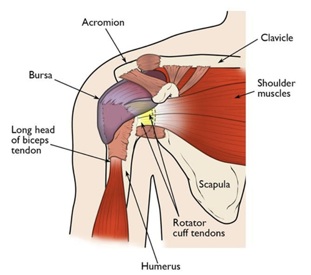 hight resolution of this illustration of the shoulder highlights the major components of the joint in most rotator cuff