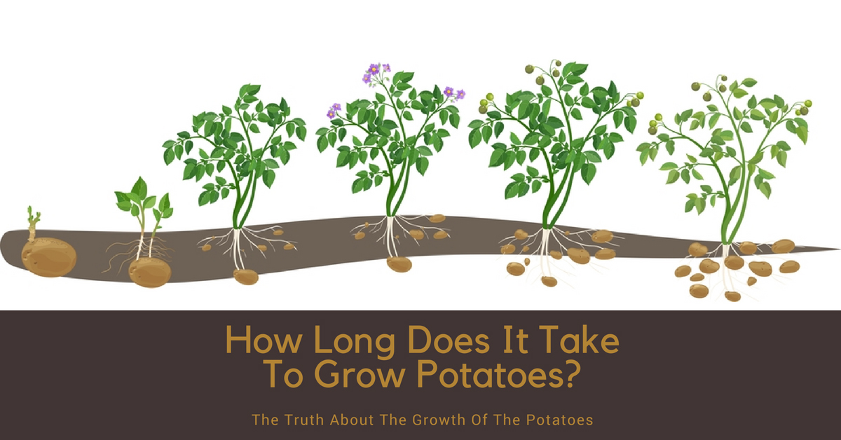 How Long Does It Take To Grow Potatoes The Truth About