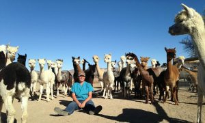 Alpacas inspecting Sarah the Veterinarian