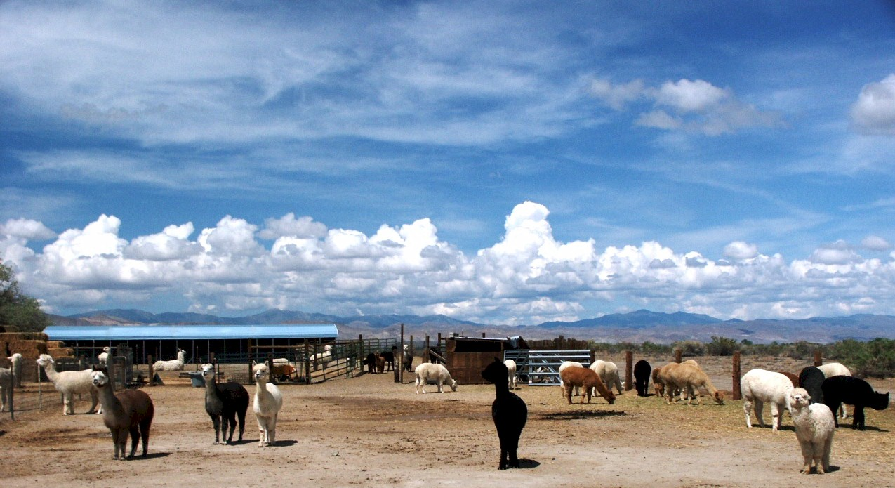 alpaca farm in Nevada, Alpaca Mining Company