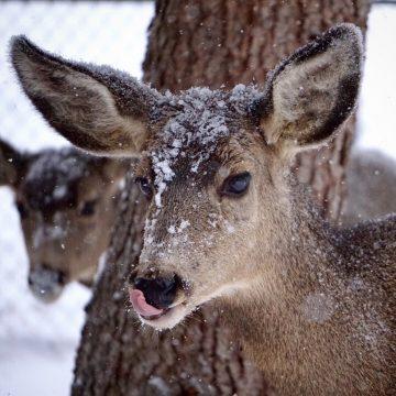 Deer Blep