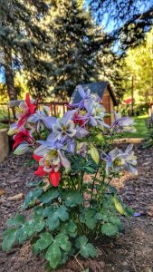 Columbines in the front bed