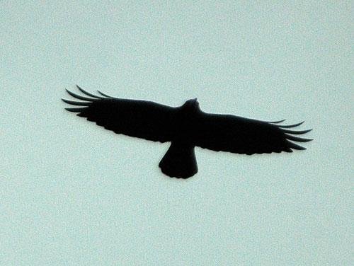 Corbeau freux (Corvus frugileus) en vol