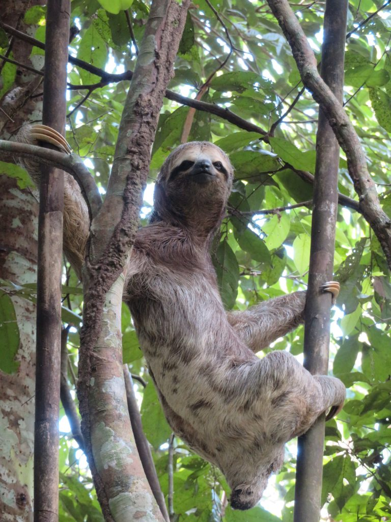 Amazon Rainforest | Sloth