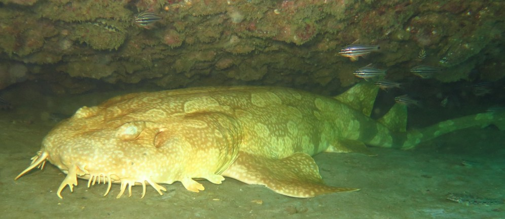 wobbegong (carpet shark), Tangalooma wrecks