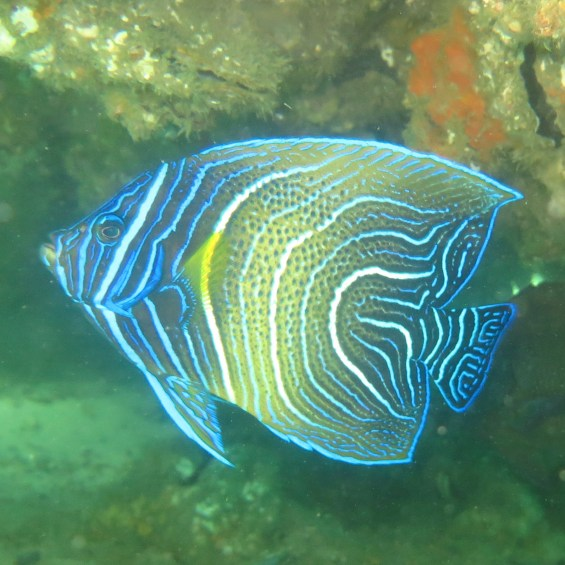 Angel fish (juvenile), Tangalooma wrecks