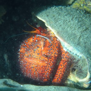 Hermit crab (the size of a soccer ball!), Tangalooma wrecks, Moreton Island