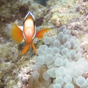 Clown anemone fish, Lady Musgrave Island lagoon
