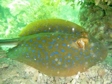 Blue-spotted stingray, Hexham Island