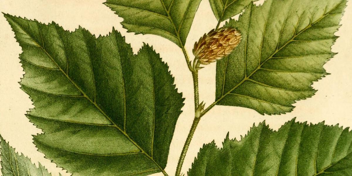 Alpine betula nigra