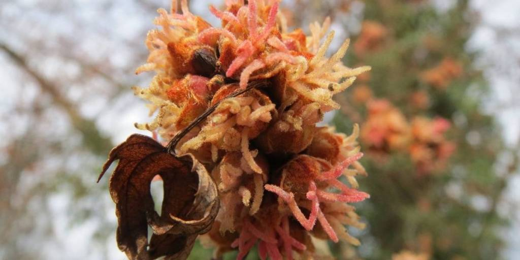 cedar apply rust gall