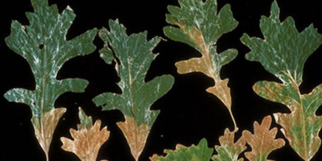 White oak leaves showing the typical scorched look caused by oak wilt infection. Photo courtesy of Fred Baker, bugwood.org.