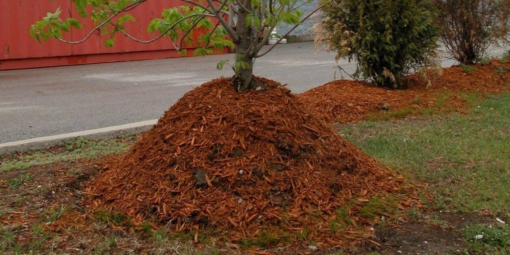 An extreme mulch volcano with wood chips piled 3 feet high around a tree.